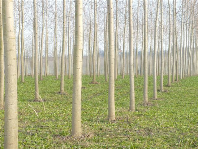 Poplar Plantation in Italy