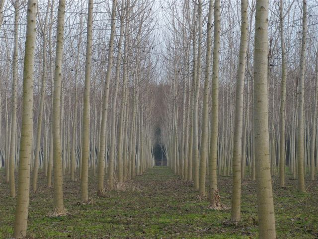 poplar plantation italy
