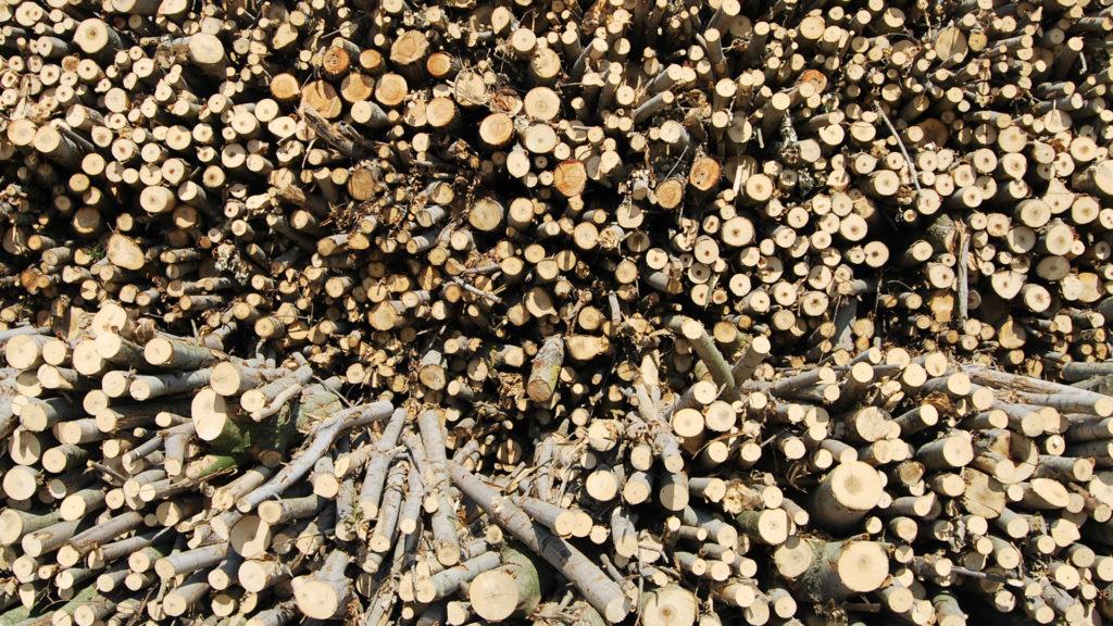 Poplar raw material